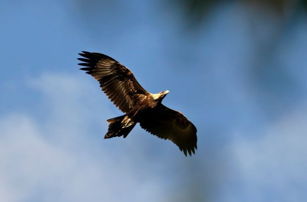 wedge_tailed_eagle.JPG
